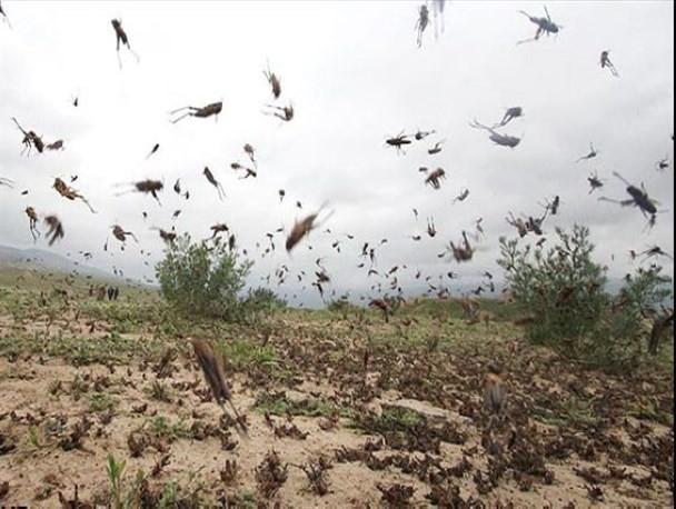 مدیرکل موزه تاریخ طبیعی و ذخایر ژنتیکی در تبادل نظر با خبرنگاران: خشکسالی موجب هجوم ملخ های صحرایی به جنوب کشور شد