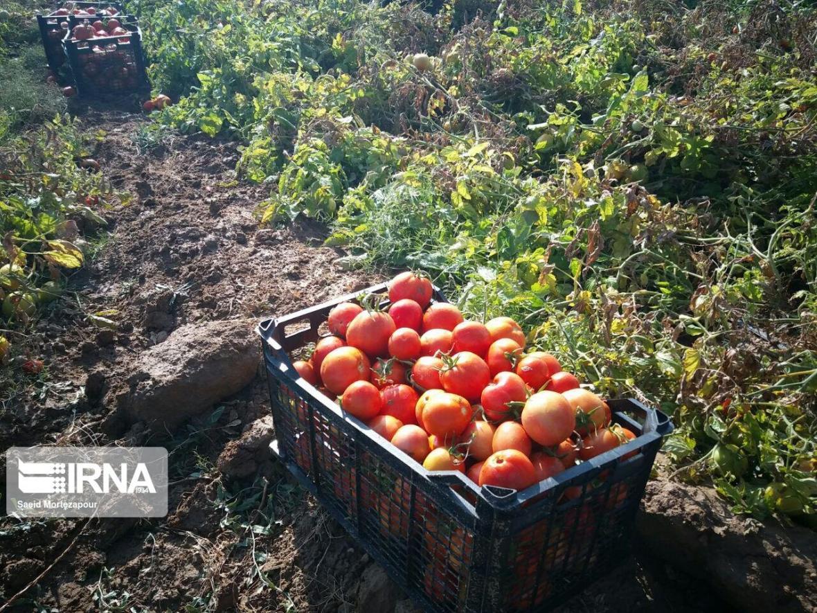 خبرنگاران 2 هزار و 300 تن گوجه از کشاورزان دزفول خریداری شد