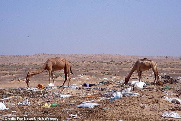 پلاستیک جمعیت شترهای امارات را کم کرد