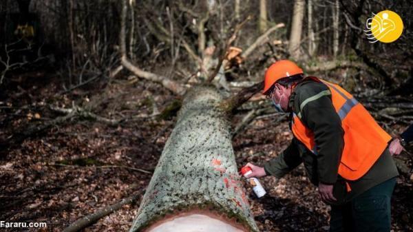 (تصاویر) قطع درختان بلوط چند صد ساله برای بازسازی کلیسای نوتردام